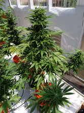 Load image into Gallery viewer, Tha Shiznit - Short Stuff Seeds -  Autoflowering Feminised