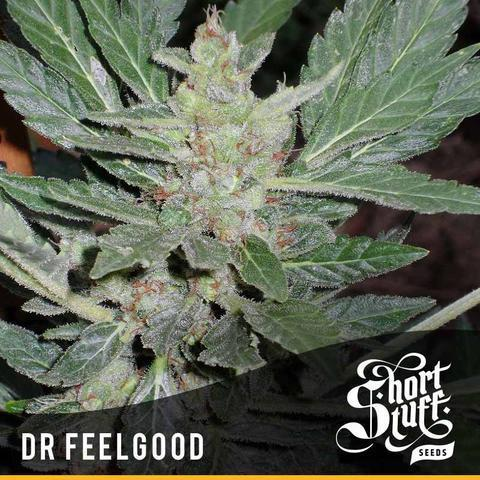 Dr Feelgood - Short Stuff Seeds - Autoflowering Feminised
