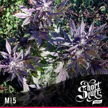 Load image into Gallery viewer, MI5 - Short Stuff Seeds - Autoflowering Regular