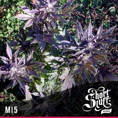 MI5 - Short Stuff Seeds - Autoflowering Regular