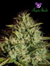 Load image into Gallery viewer, White Kush Auto – New Generation 2018