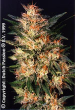 Load image into Gallery viewer, White Widow - Auto Feminised Seeds