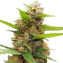 Load image into Gallery viewer, Zamaldelica x Nepal Jam - Feminized Seeds