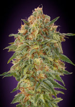 Load image into Gallery viewer, Female Mix - Feminised Seeds