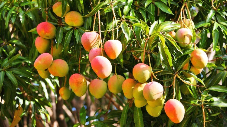 Mango tree with ripening fruit