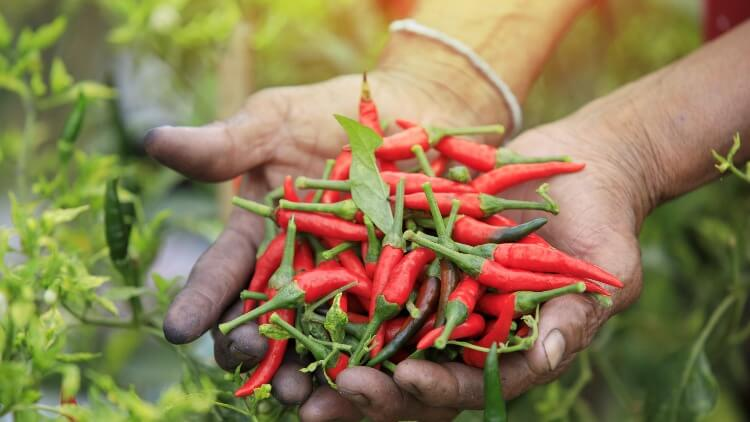 Red hot chilli peppers in muddy hands