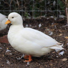 Load image into Gallery viewer, White Call Duck
