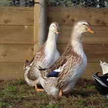 Load image into Gallery viewer, Female German pekin Ducks