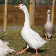 Load image into Gallery viewer, White Chinese geese
