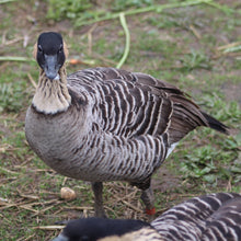 Load image into Gallery viewer, Nene geese