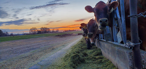 cows and sunrise 2021