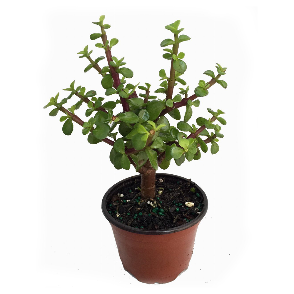 Mini Leaf Jade Plant - 4