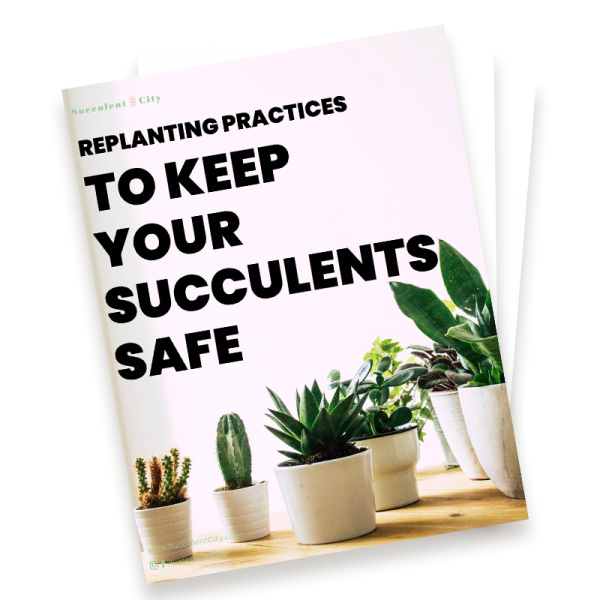 Replanting Practices to Keep Your Succulents Safe