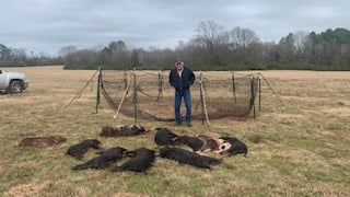 pigs laid out after a pig brig catch
