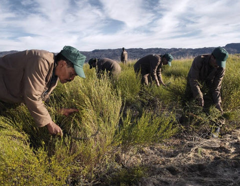 Cultivating Rooibos from Cederberg Mountain