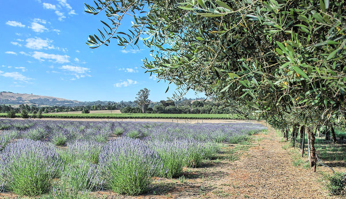Natural olive trees and lavender growing in the Sonoma Valley in Northern California wine country