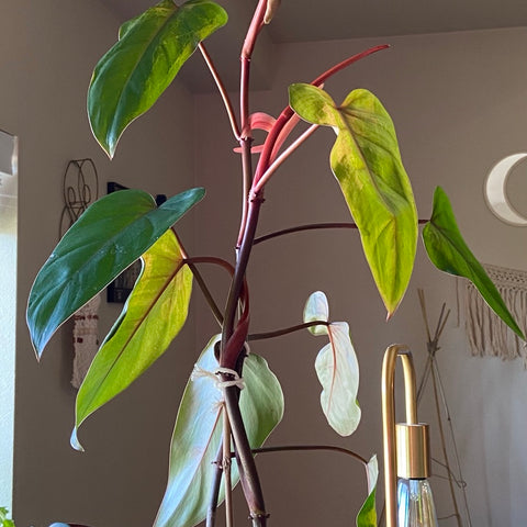 Red Emerald Philodendron Low Light Houseplant