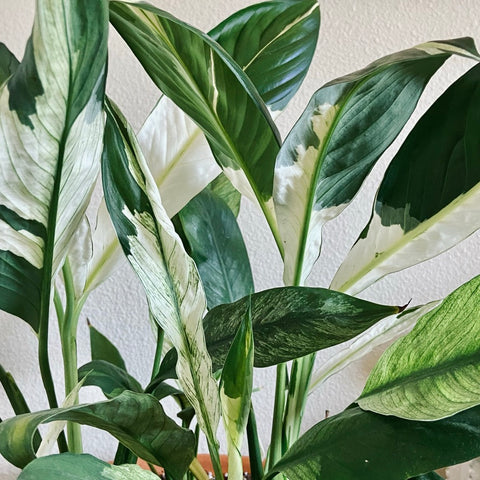 Variegated Picasso Peace Lily low light low maintenance houseplant