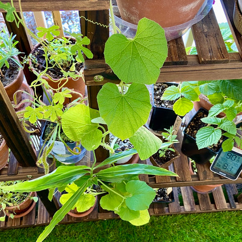 Spaghetti Squash growing up a plant rack (small space garden)