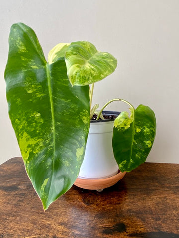 Variegated Jose Buono Philodendron for sale in washington state