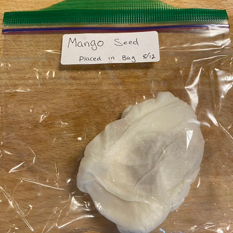 Place the seed in the bag for the mango seed to germinate