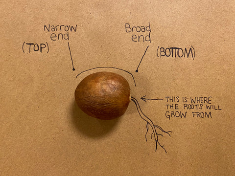 Diagram of avocado seed sprouting