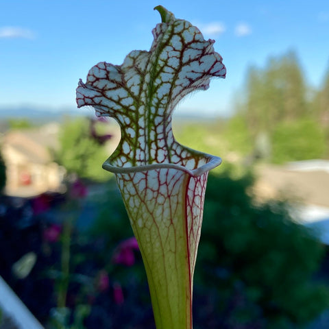 Pitcher plant growing on a balcony