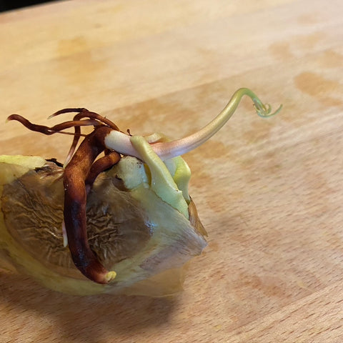 The mango seed germinates fast and does best when grown in a plastic bag