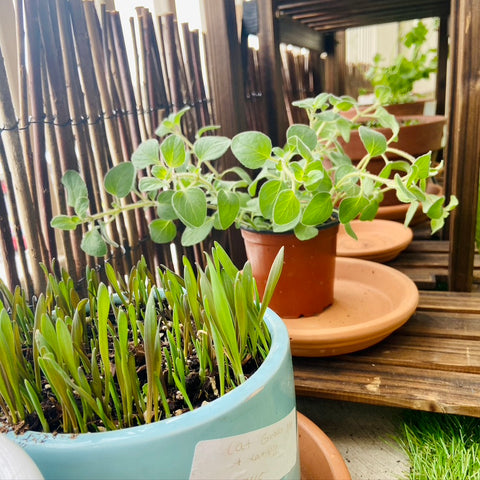 Small-space garden with cat-friendly cat grass and oregano