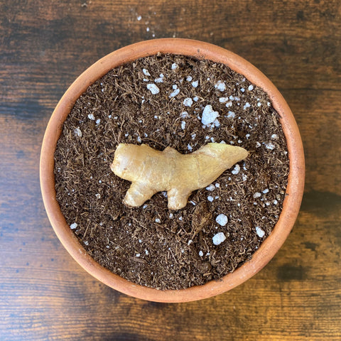 Place Ginger In Soil To Grow