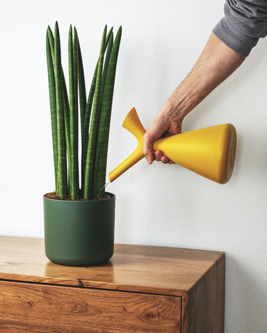 Watering a Sansevieria Cylandrica