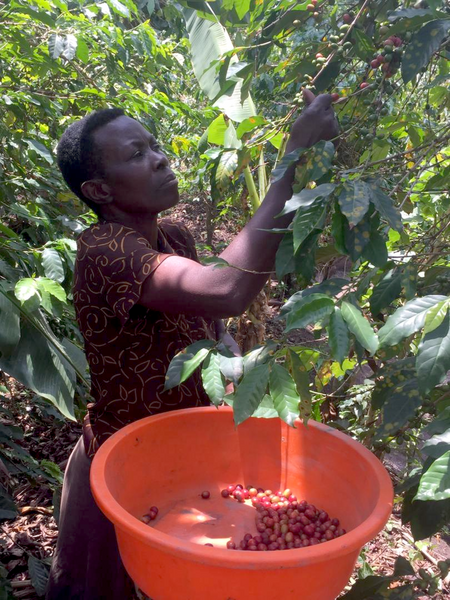Female coffee farmer picks coffee cherries from tree, coffee cherries placed in red bin