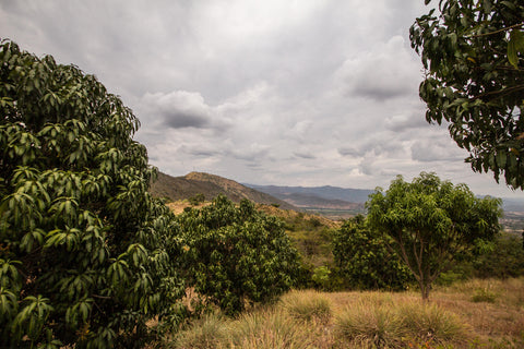 Fruandes landscape, mango trees in foreground, mountains in distance