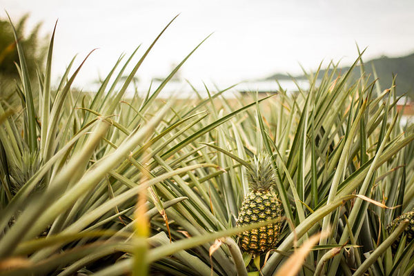 Pineapple growing from centre of leafy plant