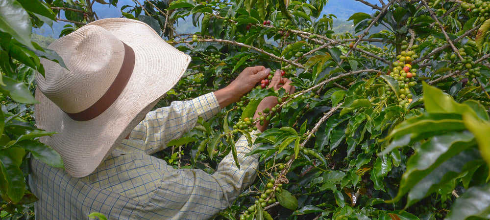 Male coffee farmer in hat picking coffee cherries from tree