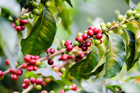Closeup red and green coffee cherries on branch