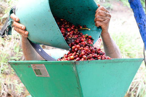 Man pouring red coffee cherries into green depulper