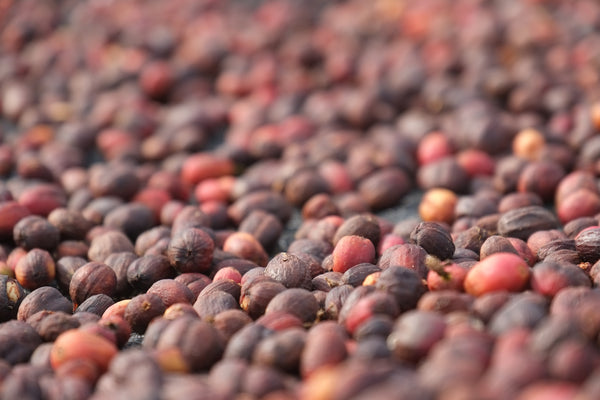 Closeup on coffee cherries laid out in sun to ferment