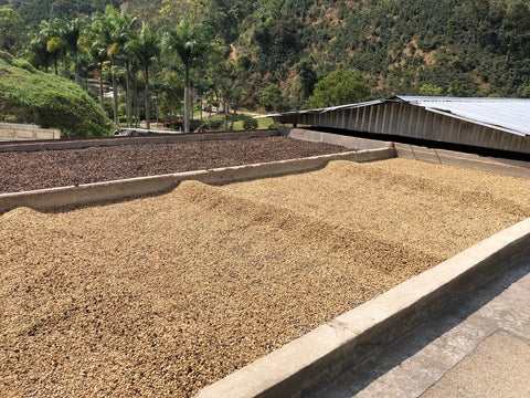 Coffee beans spread out to dry in sun