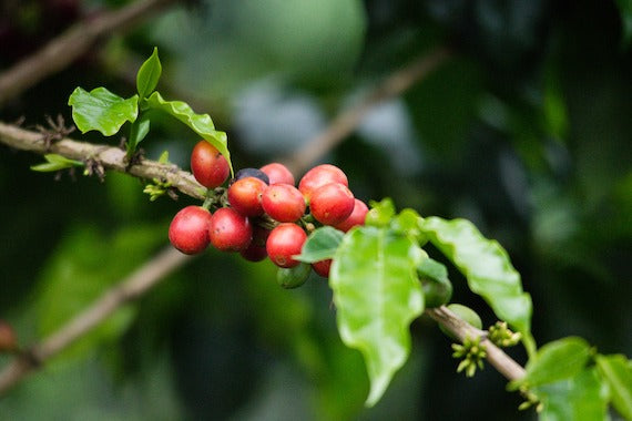 Close up red coffee cherries on branch