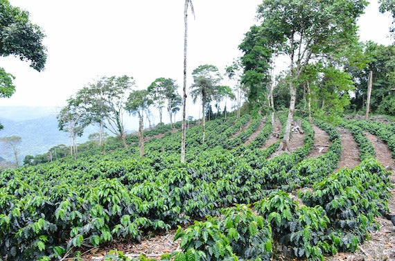 Landscape coffee trees on farm planted in rows