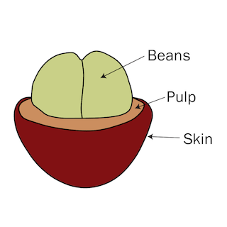 Cross section coffee cherry, beans, pulp, skin, infographic