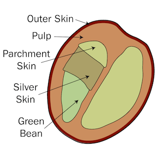 Cross section coffee cherry, outer skin, pulp, parchment skin, silver skin, green bean infographic