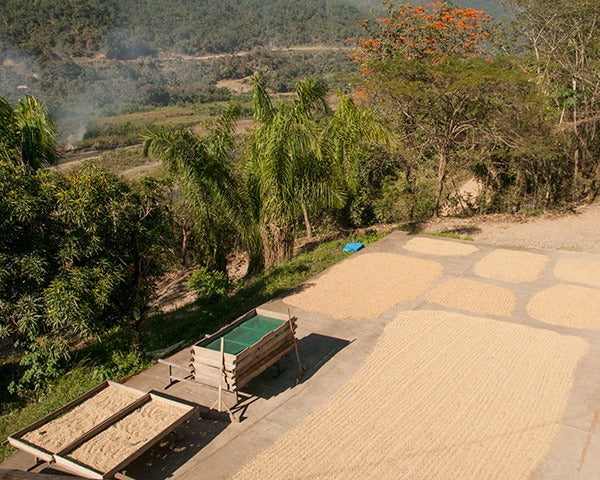 Coffee beans laid out in sun drying