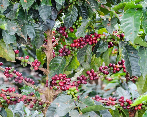 Red and green coffee cherries on tree