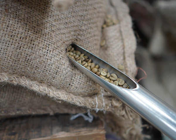Trier with green coffee beans taken from sack