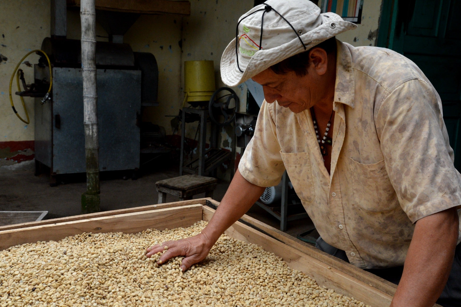 Male farmer reviews green coffee beans for defects