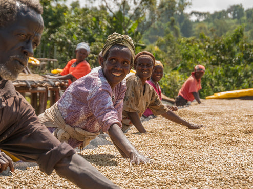 Workers spreading coffee to dry in sun