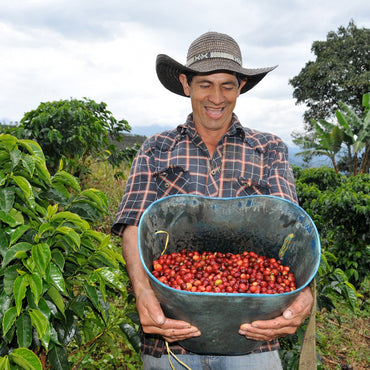 Male farmer in Colombia walks through coffee trees, holds bin with red coffee cherries