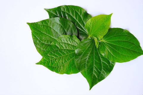What is Kava? Kava in plant form, before being processed.